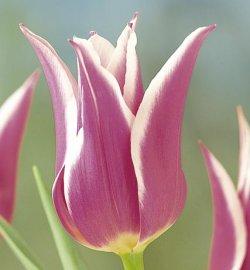 Купить тюльпаны Ballade