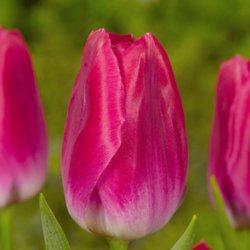 Тюльпаны Bolroyal Pink