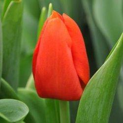Купить тюльпаны в Москве