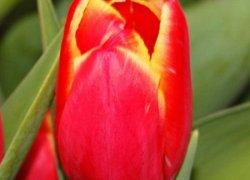 Голландские тюльпаны Caballero на 8 Марта