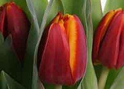 Скидки на тюльпаны Кабальеро из Голландии к празднику