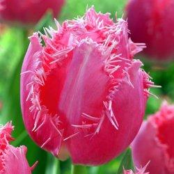 Купить луковицы тюльпанов Cacharel