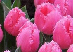 Купить тюльпаны Cacharel