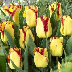 Тюльпаны Cape Town для букетов на 8 Марта