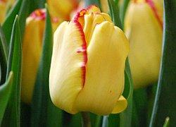 Тюльпаны Кейп Таун из Голландии