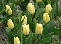 Голландские тюльпаны Creme Flag со скидкой