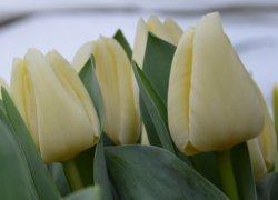 Продажа луковиц тюльпанов Creme Flag из Голландии
