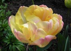Голландский сорт тюльпанов Creme Upstar
