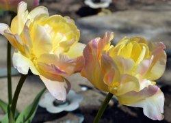 Купить оптом тюльпаны Creme Upstar со скидками
