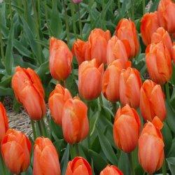 Красивые тюльпаны в Москве – сорт DarwiOrange