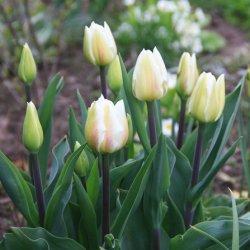 Купить тюльпаны в теплице онлайн