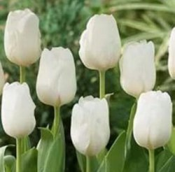 Красивые тюльпаны DarwiSnow к празднику