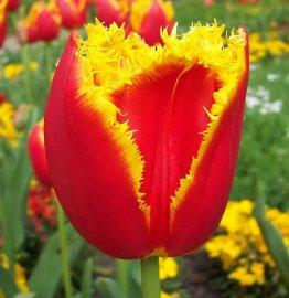 Тюльпаны Daven Port без посредников