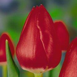 Купить тюльпаны Deshima к женскому празднику дешево