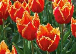 Тюльпаны Фабио онлайн