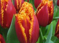 Тюльпаны Fabio оптом