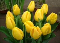 Тюльпаны Голден Парад на 8 Марта