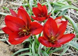 Лучшие тюльпаны оптом