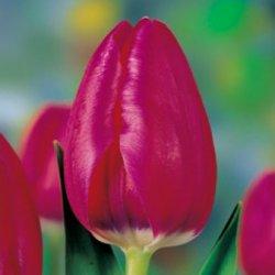 Голландские тюльпаны Huntsville оптом