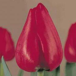 Тюльпаны Ibiza оптом