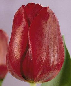 Лучшие тюльпаны Ибица к 8 Марта оптом