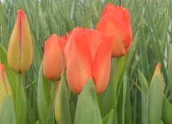 Тюльпаны Lalibela к 8 Марта