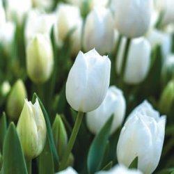 Тюльпаны Lanka
