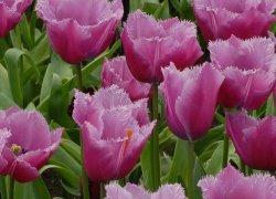Тюльпаны Лувр купить