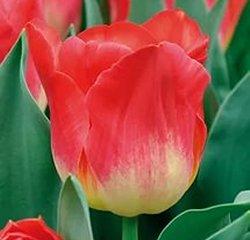 Красивые тюльпаны к 8 Марта