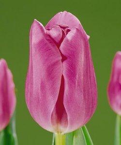 Купить тюльпаны Mistress