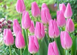 Тюльпаны Mistress