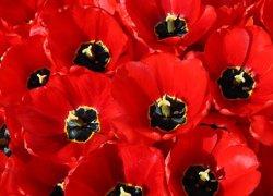 Тюльпаны Парад купить в питомнике