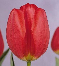 Тюльпаны Parade продажа без посредников