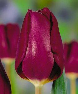 Продажа тюльпанов Purple Lady