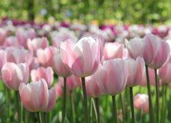 Тюльпаны Розалия из Голландии