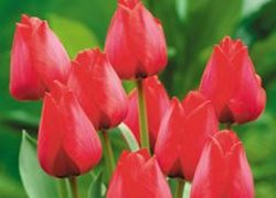 Оптовые поставки тюльпанов Spryng из Голландии