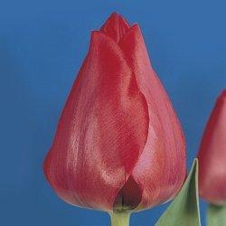 Голландские тюльпаны Spryng к 8 Марта