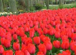 Тюльпаны Спринг оптом без посредников