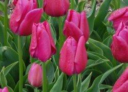Тюльпаны Sweet Rosy на 8 Марта