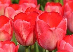 Тюльпаны Van Eijk недорого