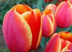 Тюльпаны Verandi оптом