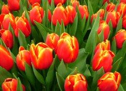 Срт тюльпанов Веранди из Голландии