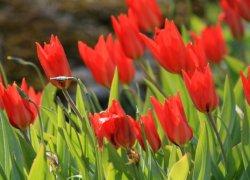 Красивые тюльпаны в Москве
