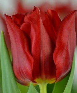 Большие тюльпаны к 8 Марта онлайн
