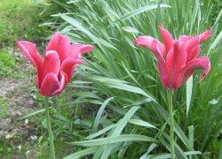Красивые тюльпаны Юрий Долгорукий к 8 Марта