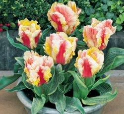 Луковицы тюльпанов сорта Zampa Parrot