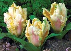 Красивые большие тюльпаны Зампа Перротt к празднику