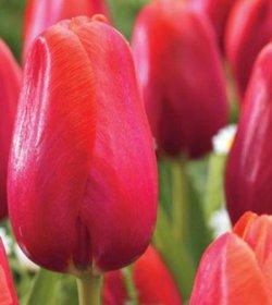 Луковицы тюльпанов Зантуторп онлайн