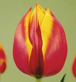 Тюльпаны Зеландия к 8 Марта