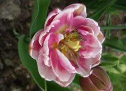 Продажа тюльпанов Zizanie к 8 Марта